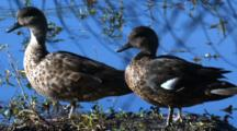 A Pair Of Ducks Preen In A Swamp (Blue Water Behind)