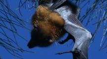 A Fruit Bat Spends Its Day Hanging In A Casuarina Tree