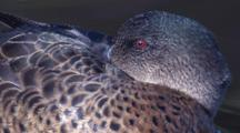 A Female Chestnut Teal Snoozes While Afloat