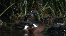 A Chestnut Teal Preens Its Plumage In Shallow Water