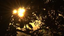 The Setting Sun Penetrates The Tree Top Of A Banksia