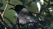 A Little Wattlebird, Perched On A Branch, Preens And Leaves