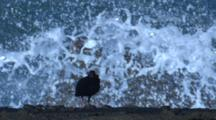 Undisturbed By Nearby Heavy Seas, An Oystercatcher Snoozes