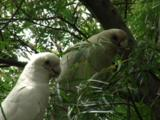A Pair Of Little Corellas Forage On A Tree