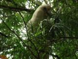 A Little Corella Forages On A Tree