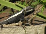 A Male Jacky Lizard Mounts Female