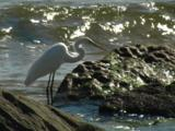 A Great Egret Is On The Lookout For Prey