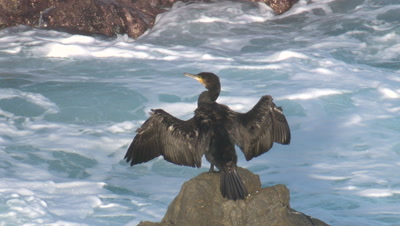 A Cormorant snoozes while drying its wings on coastal rocks