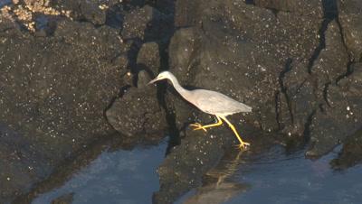 A Heron searches for edibles on coastal rocks