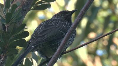 A Little Wattlebird perches in a bush