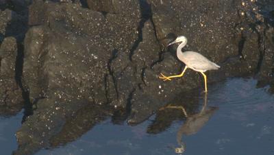 A heron searches for food on coastal rocks