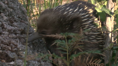 An Echidna pauses and continues walking near a banksia tree