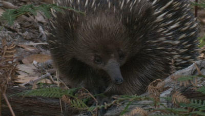 When foraging,an Echidnas sense of smell is dominant
