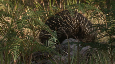 An Echidna searches for termites in decaying wood