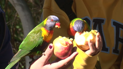 Lorikeets eat apples on the hand of visitors to the park