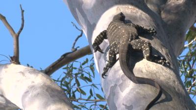 Sharp claws allow a Goanna to climb up high on a gum tree