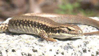 A water-skink enjoys the radiating heat of a rock