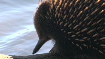 An Echidna forages near a lake's shore