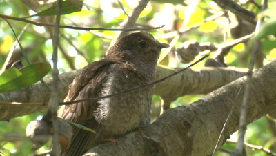 A Cuckoo chick receives a snack from a Scrub-wren