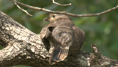 A Fan-tailed Cuckoo chick,perched on a branch,flies off