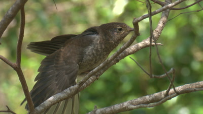 A Cuckoo chick stretches its wings,perched on a branch
