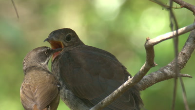 A Scrubwren shows its authority after feeding a Cuckoo chick