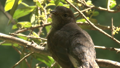 A perched Cuckoo chick communicates with its foster parent