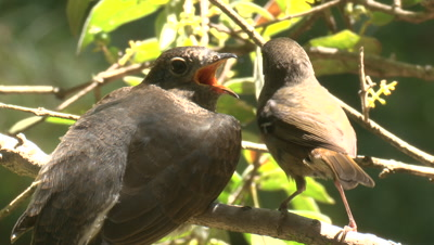 A perched Cuckoo chick receives a snack from its foster parent