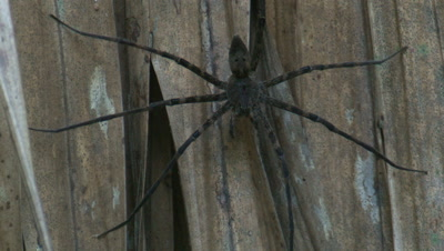 A large spider rests on dry palm fronds in the rainforest