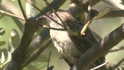A bird calls and leaves its perch in a bush