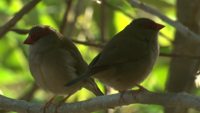 Two Finches are perched on the same branch,one leaves