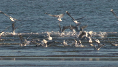 Silver Gulls forage in shallow water at the incoming tide