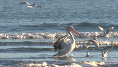 A Pelican,surrounded by Silver Gulls,forages in shallow water