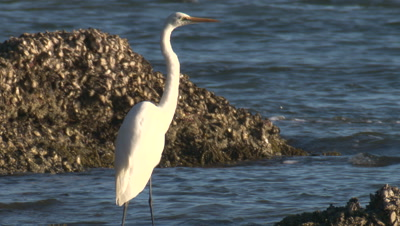 A Great Egret rests near oyster-clad rocks