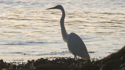 A Great Egret rests at the sea shore