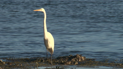 A Great Egret forages on the sea shore