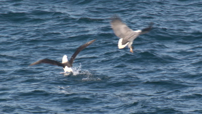 An Albatross is swiped by a Sea-Eagle for its fish