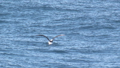 An Albatross lifts off from the water