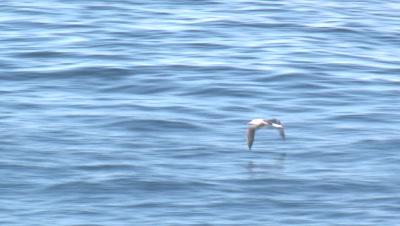 An Albatross skims the water