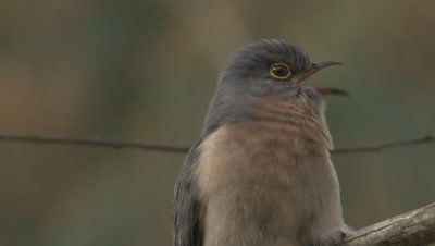 A Fan-tailed Cuckoo calls in spring