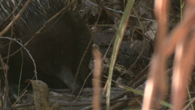 An Echidna tries to sniff out prey in the undergrowth