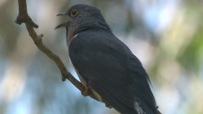 A Fan-tailed Cuckoo calls perched on a branch