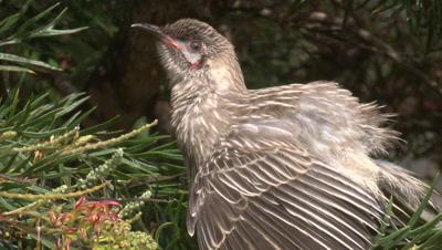 A juvenile Red Wattlebird spreads its wings on a Grevillea bush