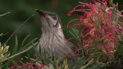 A Red Wattlebird juvenile feeds on a Grevillea bush and leaves