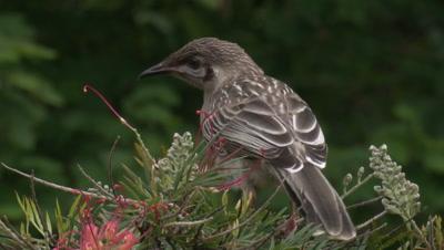 A juvenile Red Wattlebird flies off a Grevillea bush
