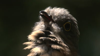 A Fan-tailed Cuckoo communicates while watching out