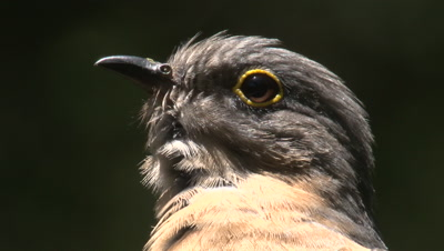A Fan-tailed Cuckoo preens while watching out