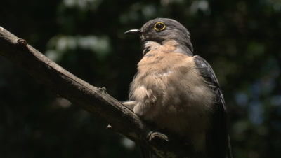 A Fan-tailed Cuckoo preens on its perch