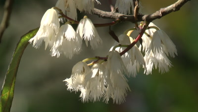 Blossoms of a white Blueberry Ash tree