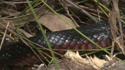 A Red-bellied Black Snake searches through leaf litter and gras